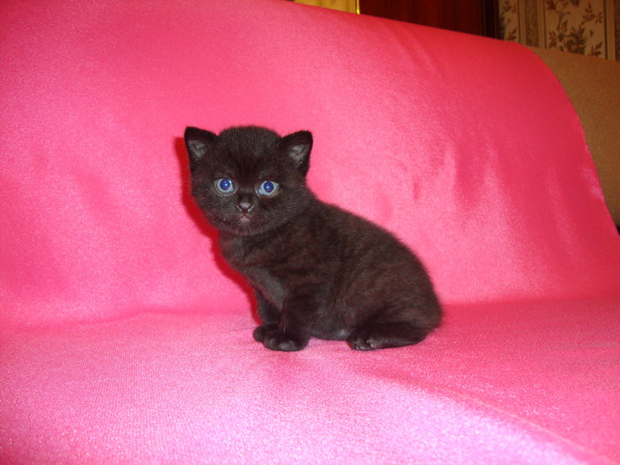 Британская короткошерстная порода кошек: окрасы от голубого до вискаса, фото котов и котят