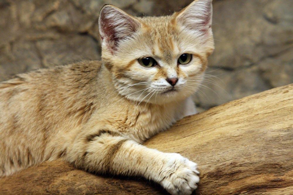 Барханный кот: описание, фото, особенности характера, можно ли содержать в домашних условиях песчаного кота