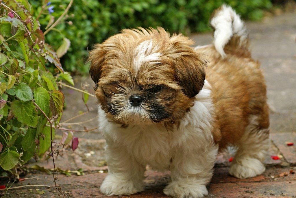 Ши-тцу — все о маленькой собаке смотрите здесь. описание породы, стандарт, разновидности, фото, отзывы покупателей, характер, питание