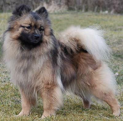 Большой шпиц: описание, стандарт породы, характер и дрессировка собаки, цена щенков, фото