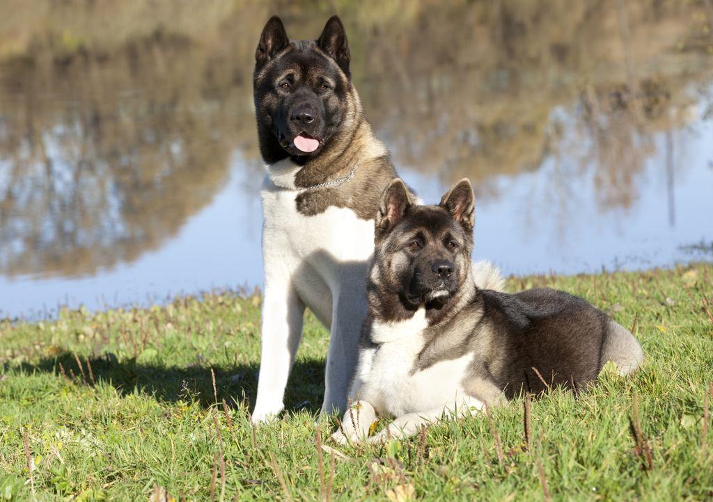 Американская акита — описание, характеристика, фото | все о собаках