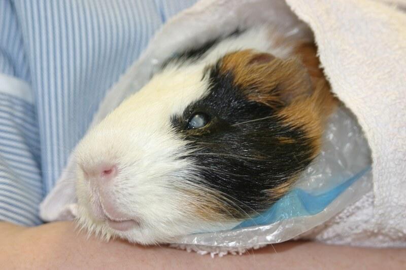 Причины от чего умирают морские свинки — как понять что питомец умирает и что делать
