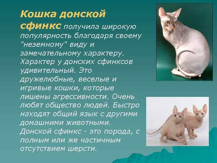 Порода кошек канадский сфинкс — особенности породы, описание ухода и воспитания кошки (115 фото)