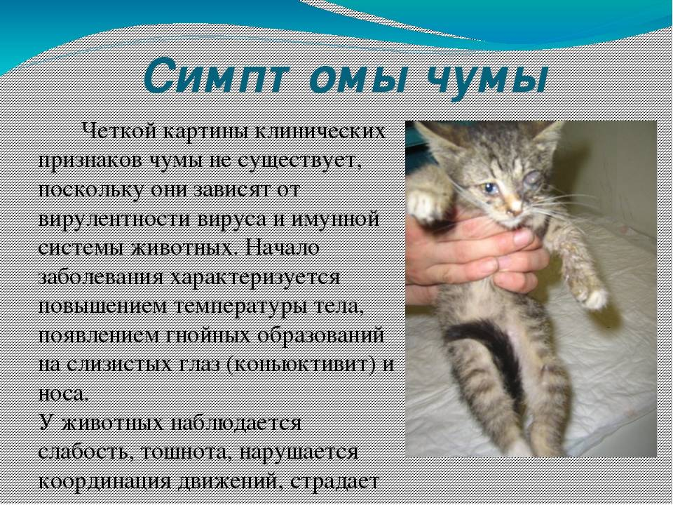 Чумка у собак: признаки, лечение, профилактика (прививки) - здоровье животных   сеть ветеринарных клиник, зоомагазинов, ветаптек в воронеже
