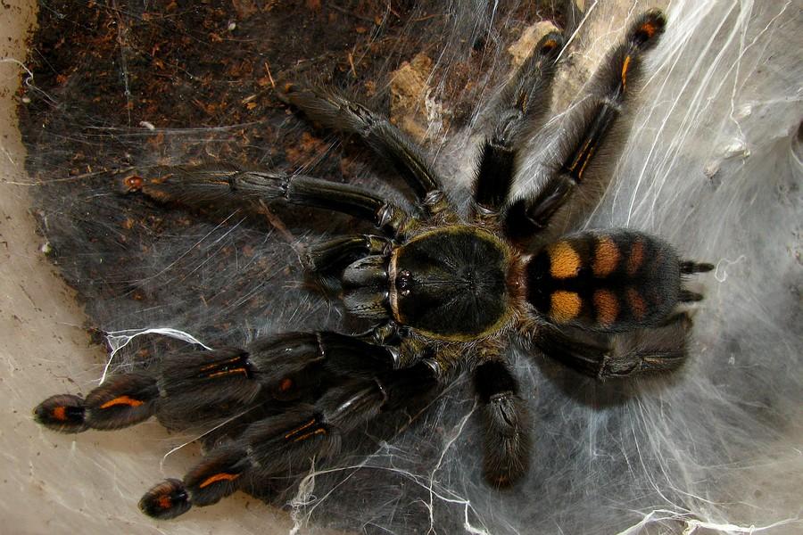 Птицеед брахипельма альбопилосум, линька домашнего паука, купить брахипельма альбопилосум