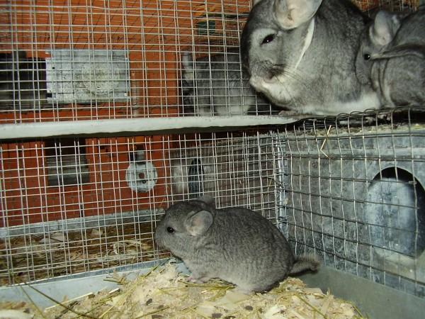 Разведение шиншилл в домашних условиях: как спариваются и размножаются грызуны