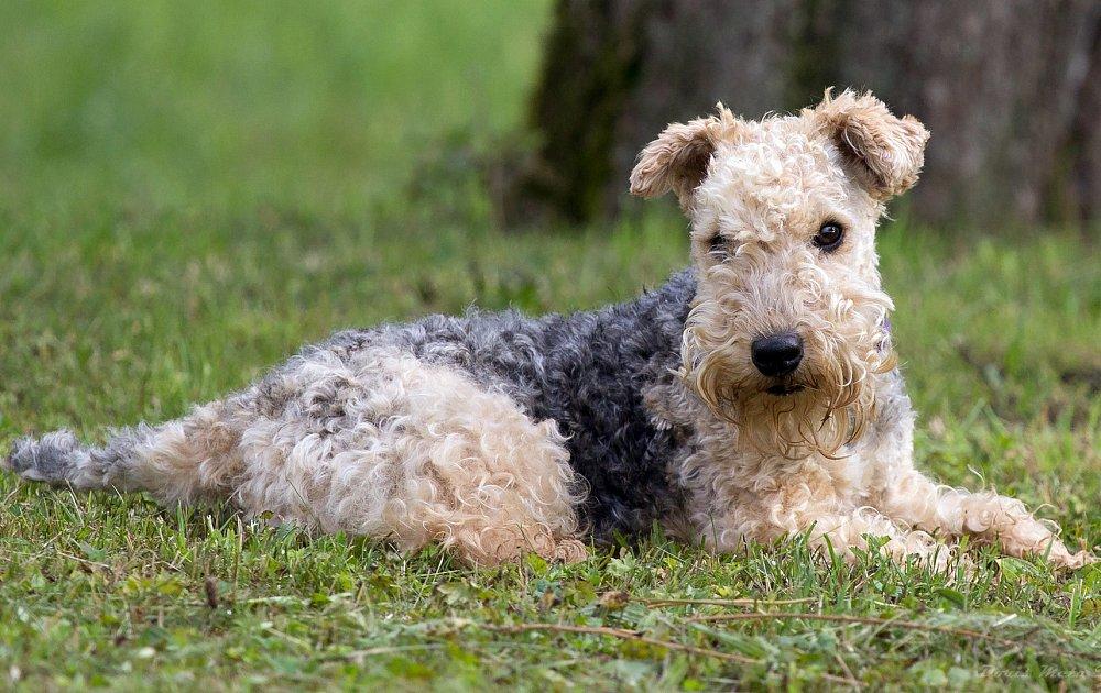 Лейкленд-терьер: фото, характер, стандарт породы собак