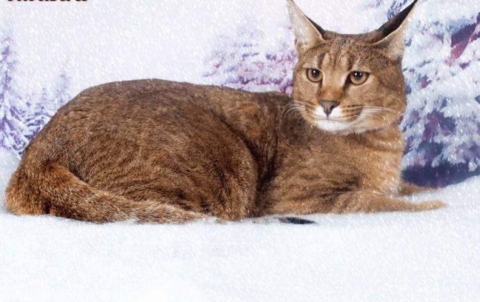 Какая порода кошек похожая на рысь?