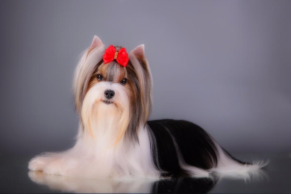 Бивер йорк-терьер: фото собак породы бивер йоркширский терьер и описание породы