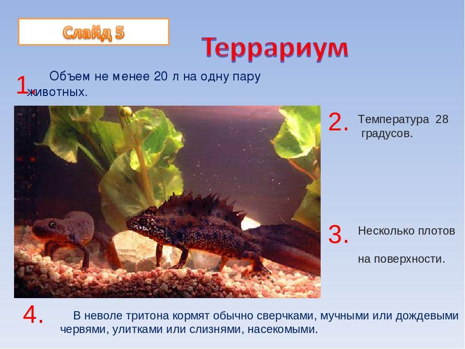Тритоны в аквариуме: содержание и уход