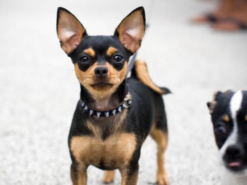 Мини-чихуахуа: как выглядят собаки и как их содержать?