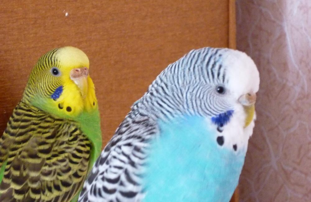 Попугаи как правильно выбрать попугая