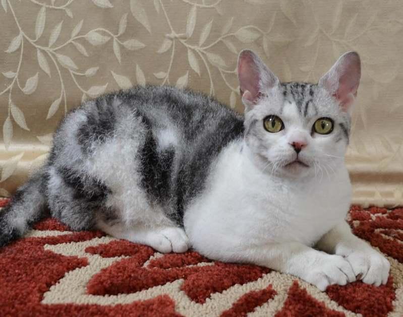 Американская жесткошерстная кошка – невероятная история происхождения - mirlap