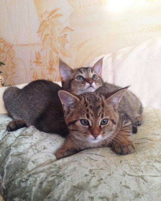 Чаузи: фото кошки, цена, описание породы, характер, видео, питомники