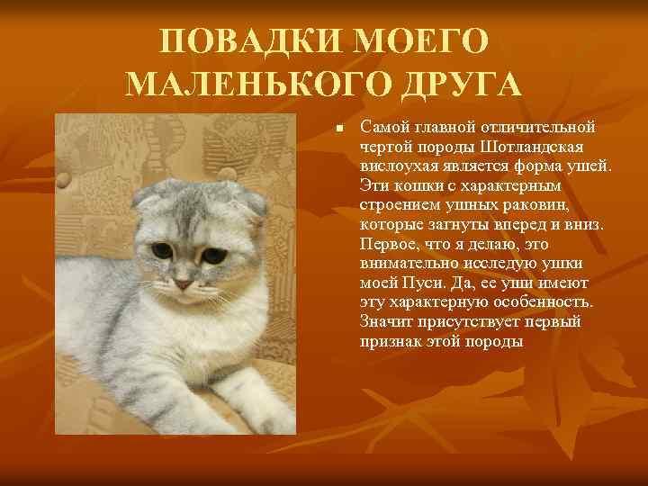 Вислоухая британская кошка, описание породы и характера