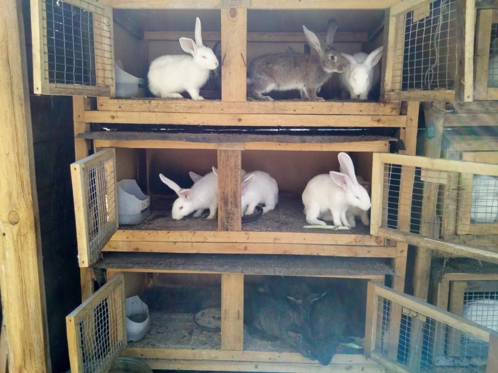 Разведение кроликов в домашних условиях для начинающих: основные принципы и советы