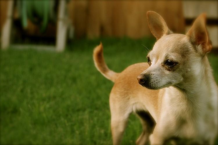 Собачка породы чихуахуа: особенности и фото уникальных мини-собак
