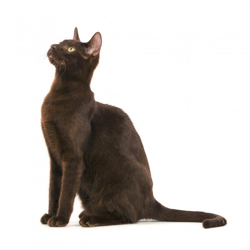 Гавана (гавана браун): описание породы кошек с фото и видео