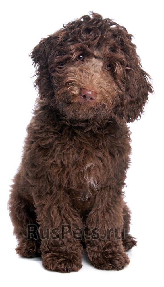 Лабрадудель: описание породы - моя собака