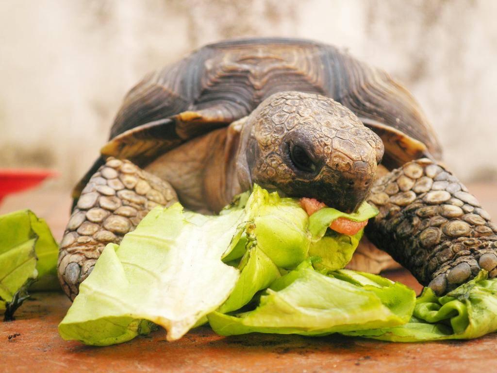 Чем кормить красноухую черепаху, что ест черепаха