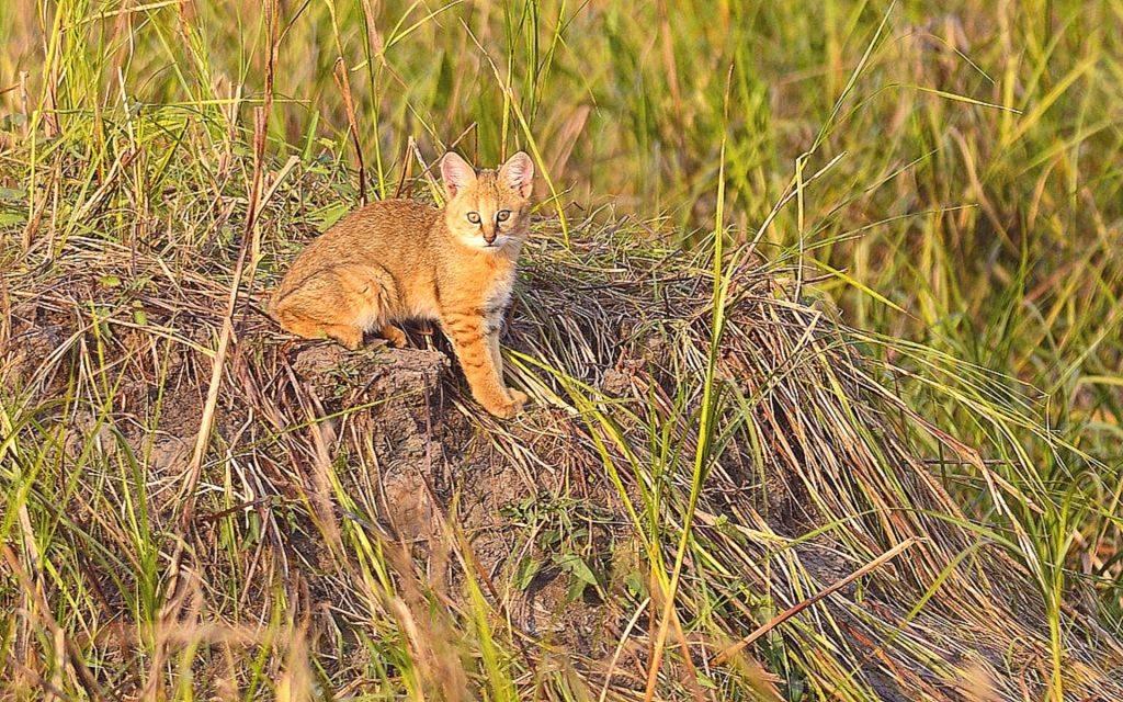 Топ 10 фактов о камышовом коте