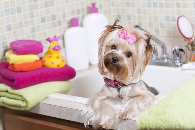 Когда можно купать щенка йорка первый раз: правила, советы кинологов, пошаговая инструкция