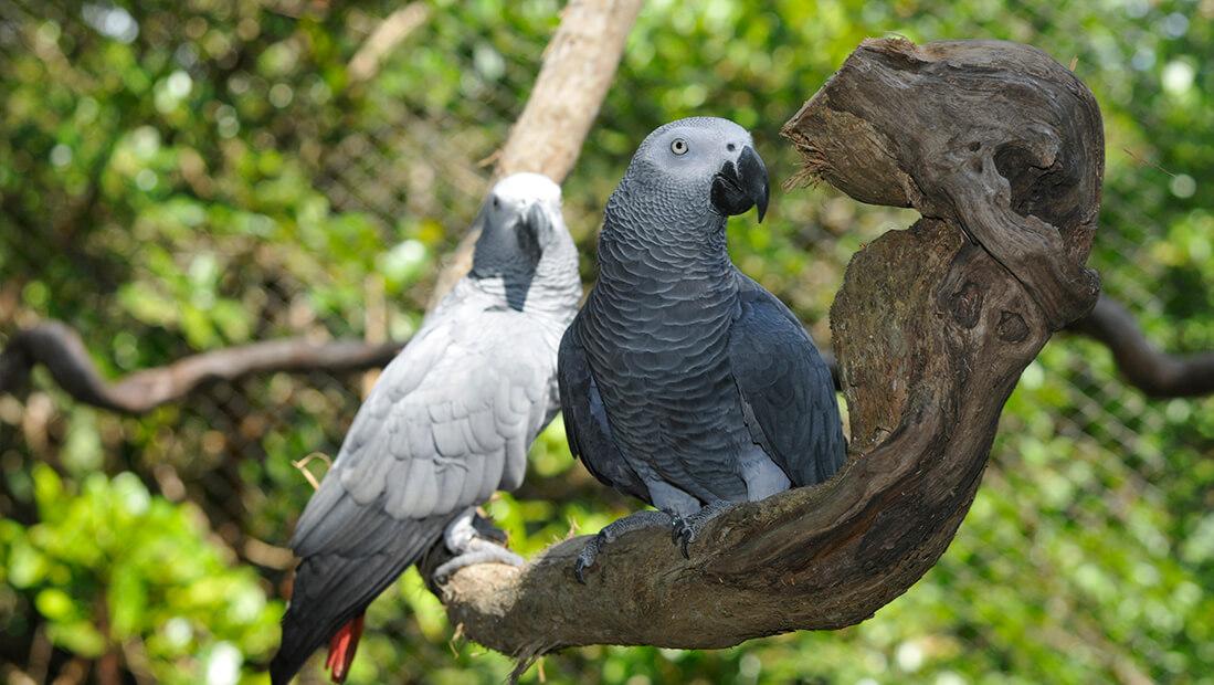 Попугай жако, описание, виды, уход и содержание, цена