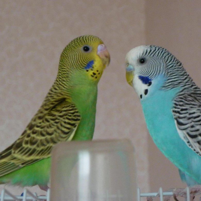 Как подобрать пару волнистому попугаю самцу или самке, каковы правила подбора, нужно ли соблюдать карантин