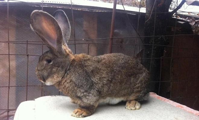 Кролики породы фландр — секреты содержания бельгийских великанов
