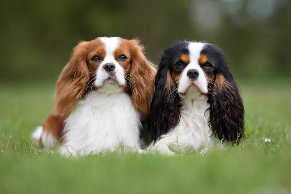 Кавалер-кинг-чарльз-спаниель: как выбрать и купить щенка
