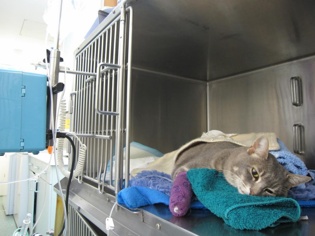 """Отравление у кошки - первая помощь при отравлении. ветеринарная клиника """"зоостатус"""""""