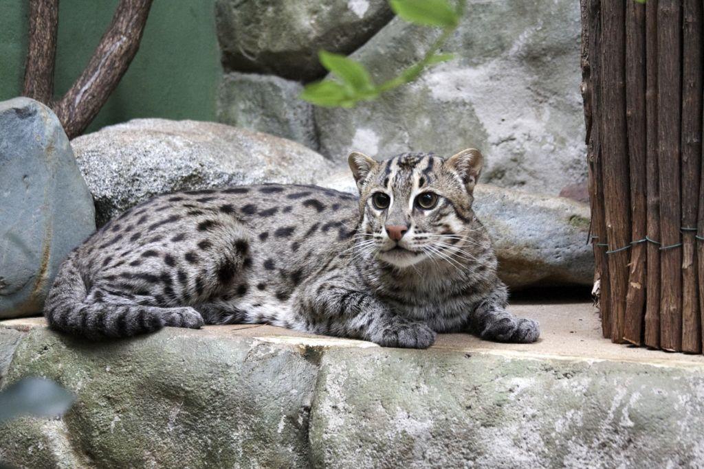 Дикие пятнистые кошки — виверровый кот рыболов: характеристики и описание + видео и фото