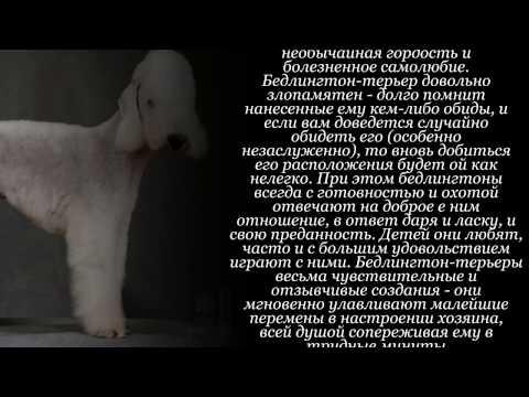 ᐉ описание породы бедлингтон-терьер - ➡ motildazoo.ru