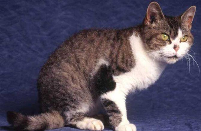 Американская жесткошерстная кошка – невероятная история происхождения