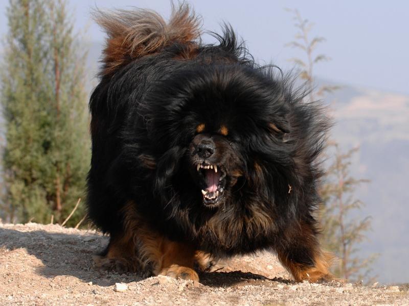 Топ-10 самых дорогих пород собак в мире   все о собаках