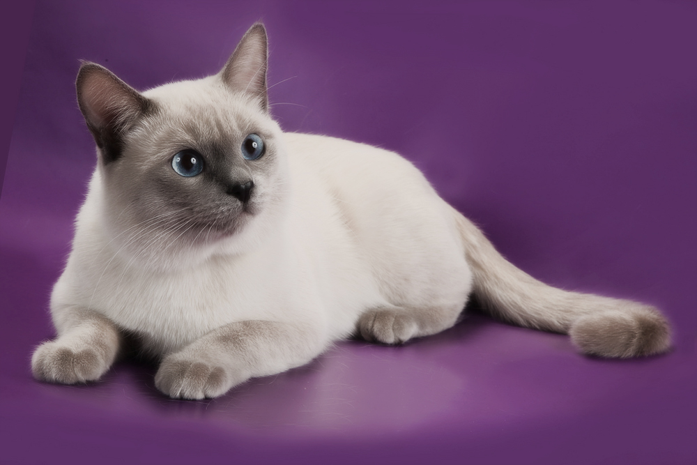 Тайская кошка: фото, описание, характер, содержание, отзывы