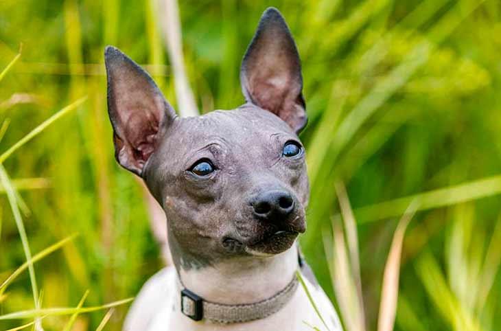 Американский голый терьер: все о собаке, фото, описание породы, характер, цена