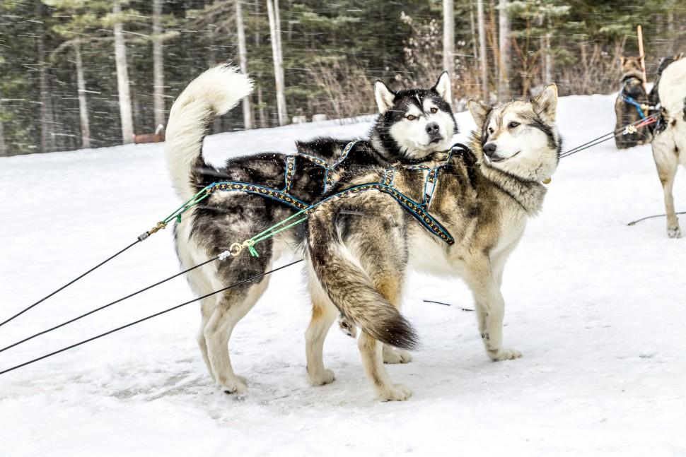 Описание породы собак якутская лайка с отзывами владельцев