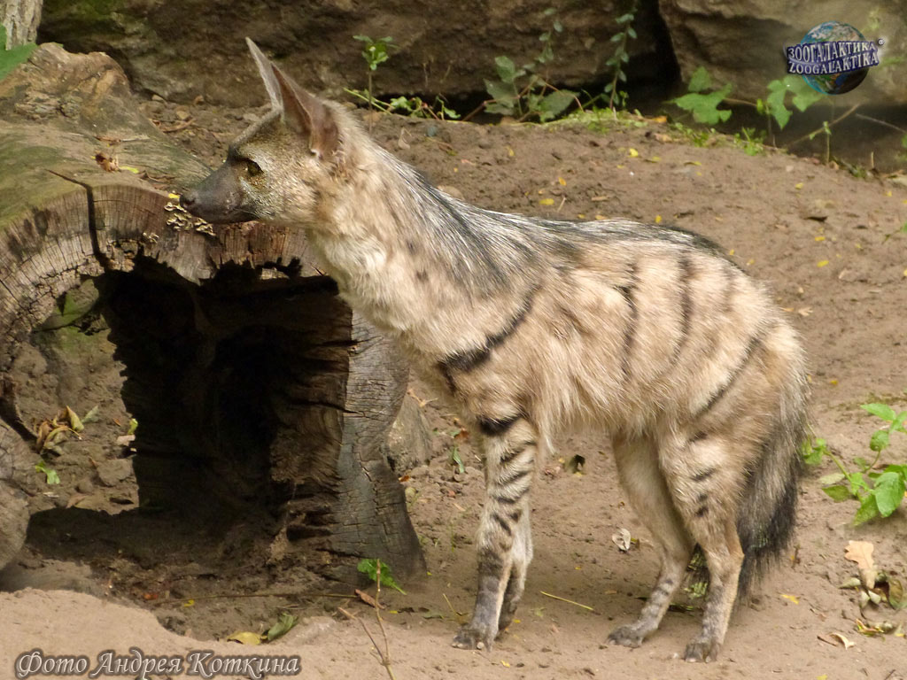Земляной волк / proteles cristata
