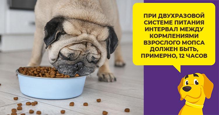 Чем и как кормить мопса?
