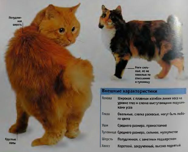 Карельский бобтейл (145 фото породы кошек): история происхождения, цена, интересные факты о содержании и разведении