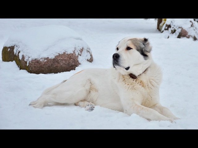 Азиатская овчарка (алабай) — стандарт породы, повадки, дрессировка, цена щенка