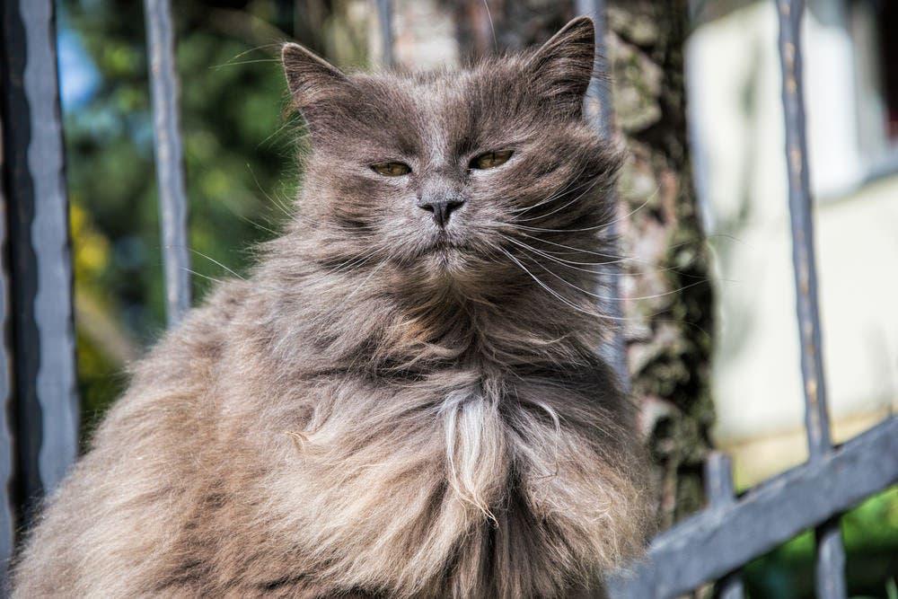 ᐉ шантильи тиффани - описание пород котов - ➡ motildazoo.ru
