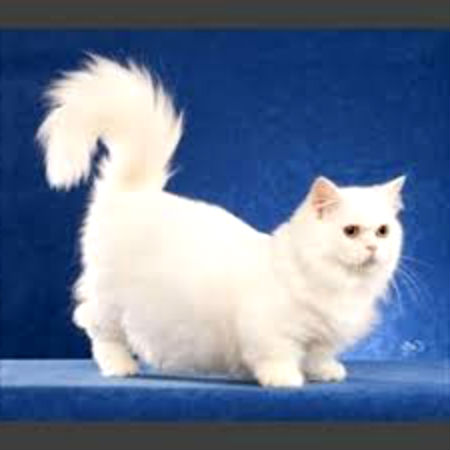 О породе кошек наполеон