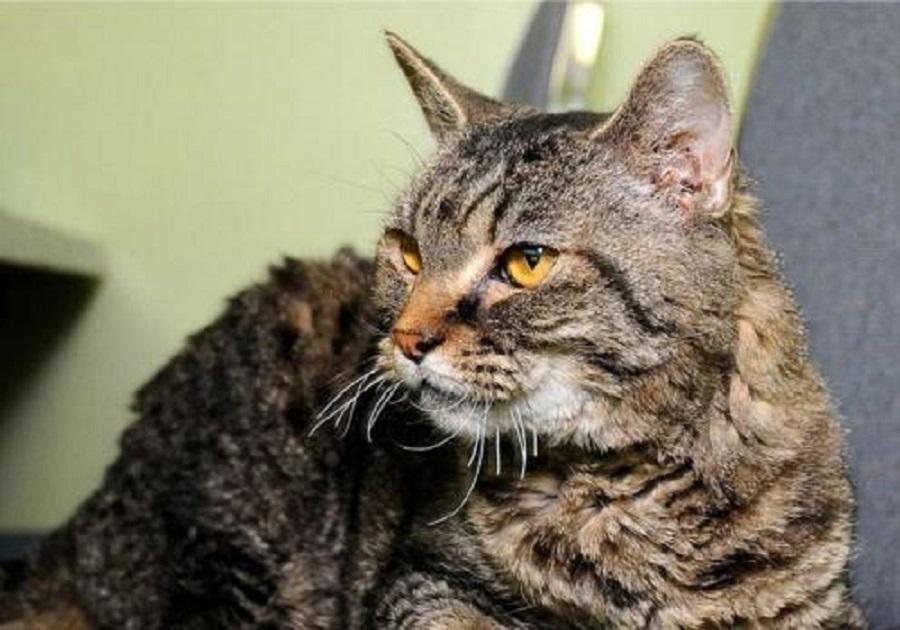 Американская жесткошёрстная кошка: случайное появление уникальной породы