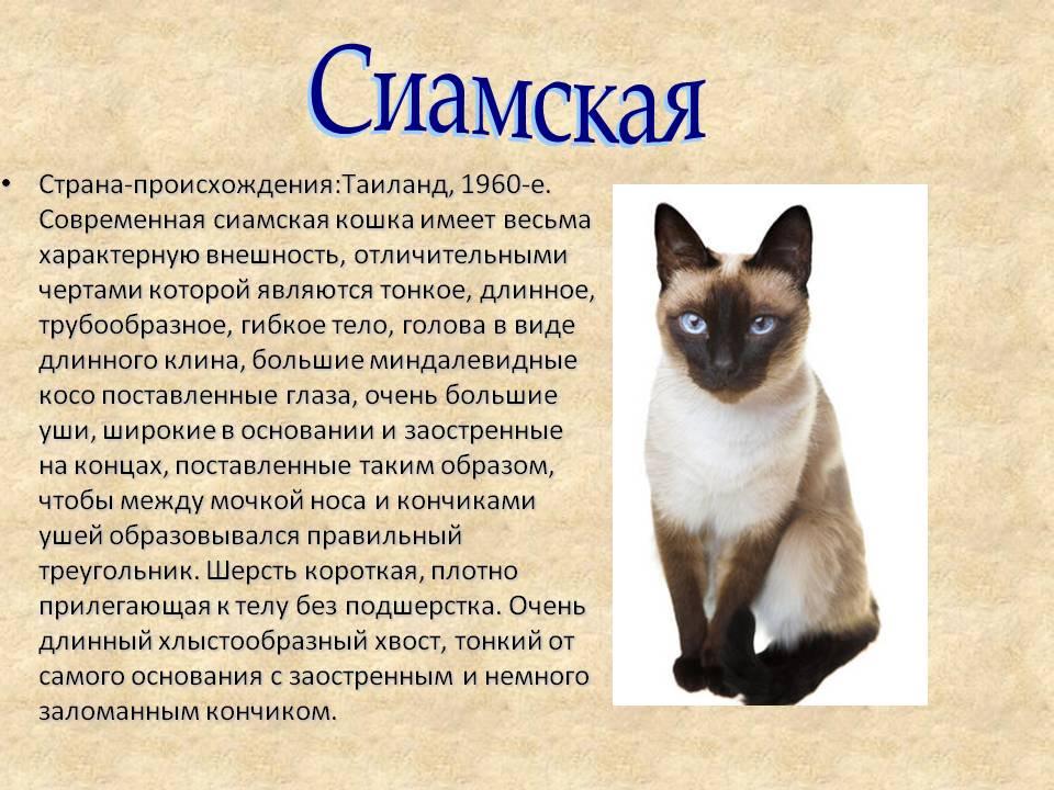 Сиамская - порода кошек - информация и особенностях   хиллс