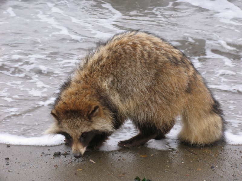 Енотовидная собака. описание, особенности, виды, образ жизни и среда обитания енотовидной собаки   живность.ру