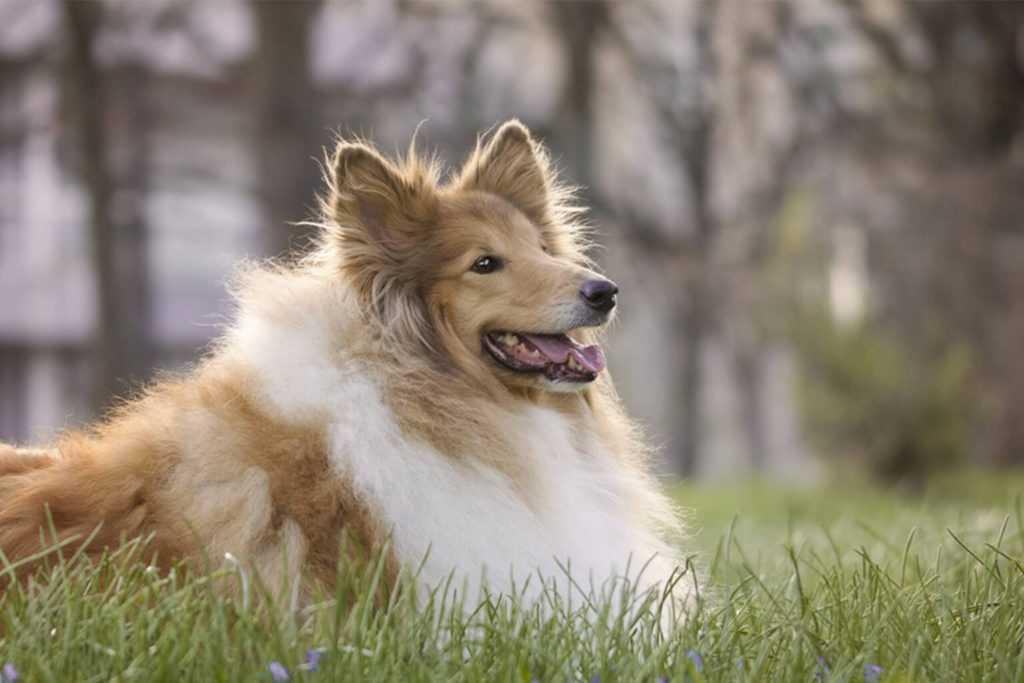 Бордер-колли: описание породы, характер собаки и щенка, фото, цена