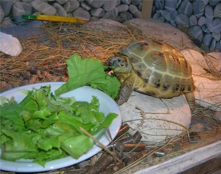 Как кормить сухопутную черепаху бананом