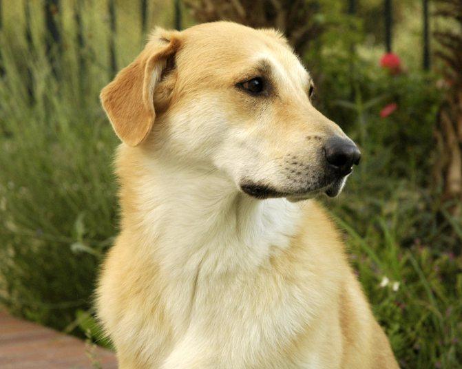 Чинук порода собак. »  породы собак